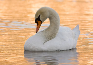 'White Swan' Marketing, or How to Focus on What Works