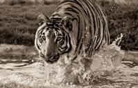 Floating Tiger