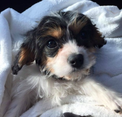 Jay Baer's puppy, Marigold