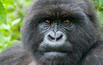 Give the Gorilla the Banana